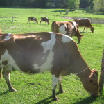 Guernesey Cows on the Rankin Farm