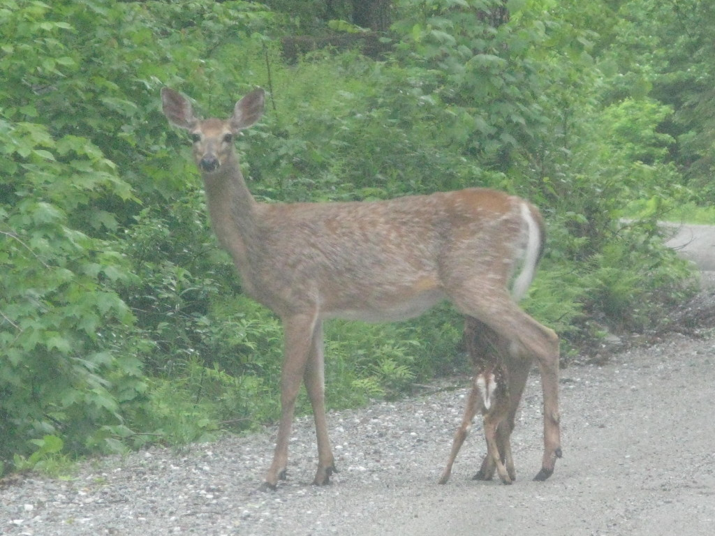Newborn fawn nursing on Bear Swamp Road.